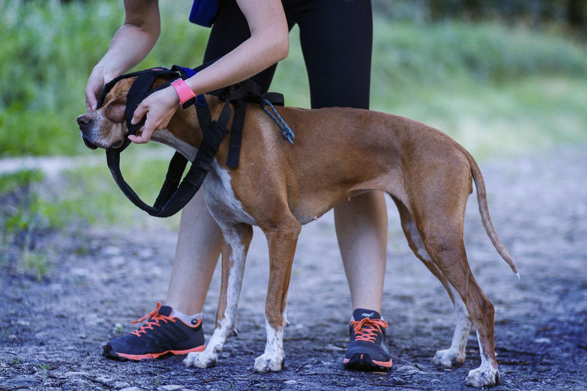 Jak správně postroj navléknout? Nejprve psovi provlékněte hlavu mezi oběma bočními popruhy a skrz krční část.